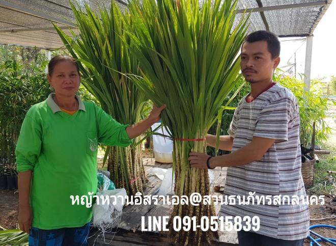 ขายต้นพันธุ์หญ้าหวานอิสราเอล น้องจากโคกศรีสุพรรณแวะเข้ามารับต้นพันธุ์