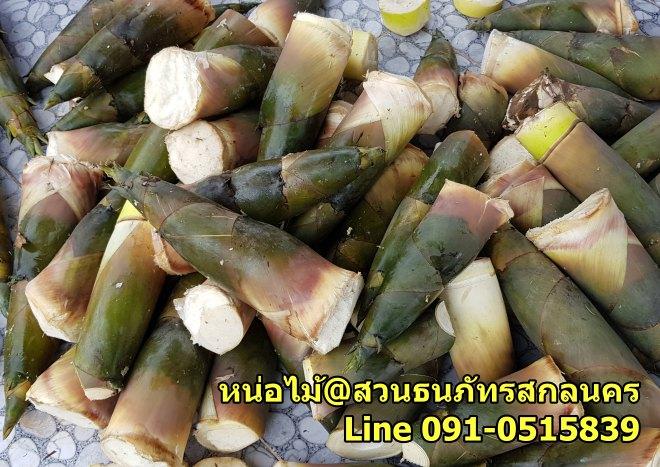 ปลูกไผ่ขายหน่อไม้ ต้องทำให้หน่อไม้ออกนอกฤดู ไผ่กิมซุ่ง ไผ่ตงอินโดจีน