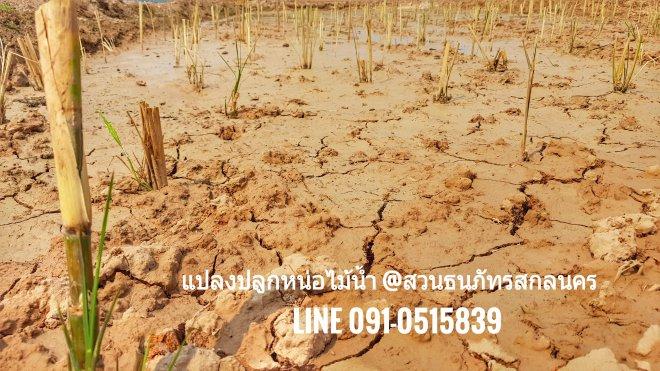 ระยะแรก ของการปลูกหน่อไม้น้ำ อย่าพึ่งให้ระดับน้ำสูง
