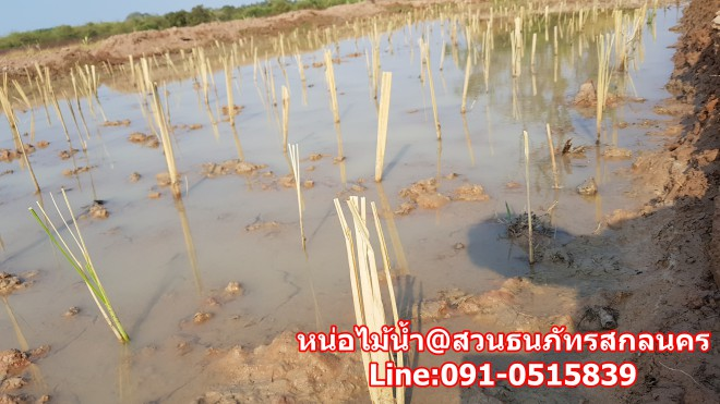 การปลูกหน่อไม้น้ำ ในช่วงแรกให้หน้าดิน เปียกมีน้ำนิดหน่อย