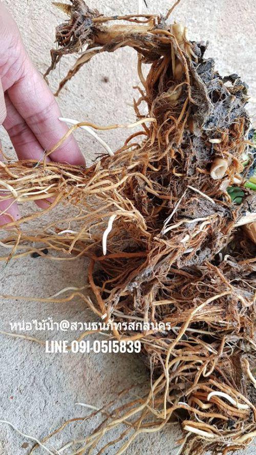 ระบบรากและลำต้นใต้ดินของต้น หน่อไม้น้ำ เจริญเติบโตไวมาก