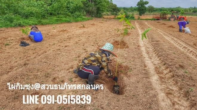 การปลูกไผ่ ทางสวนจะรองก้นหลุมด้วย จะทำให้เมื่อรากไผ่ออกจากดินเดิมก็จะได้ปุ๋ยทันที