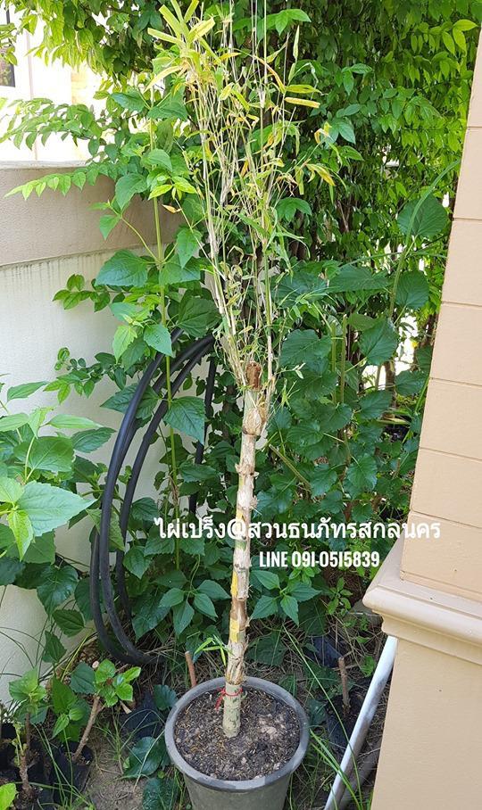 ไผ่เปร็ง ไผ่ข้อถี่ ทำไม้ตะพดไม้เท้า ไผ่โบราณพื้นบ้านของไทย