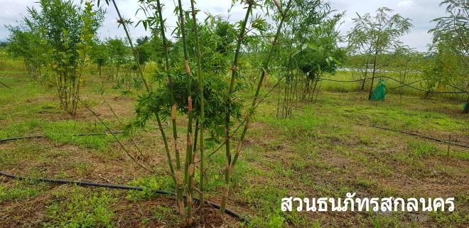 วิธีปลูกไผ่บงหวานเพชรน้ำผึ้ง เบอร์3 ของทางสวนโดยขุดเหง้าสดแล้วลงปลูกเลย
