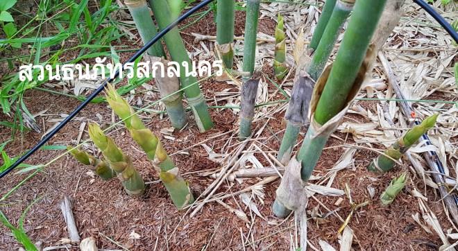 สวนไผ่บงหวานเพชรน้ำผึ้ง สกลนคร เริ่มนับ1ใหม่จากเหตุการณ์น้ำท่วม