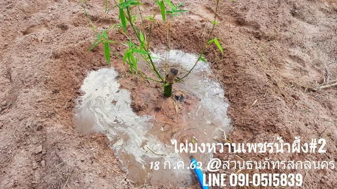 ฝนทิ้งช่วงกลางเดือน ก.ค. เลยต้องรดน้ำ ไผ่บงหวานเพชรน้ำผึ้ง