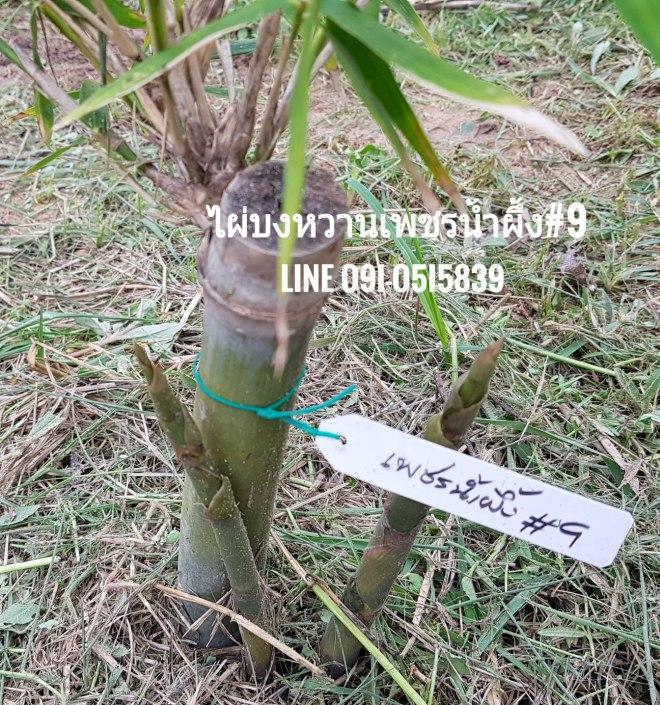ไผ่บงหวานเพชรน้ำผึ้งเบอร์9 ขยายไว้เป็นต้นพันธุ์ในสวน