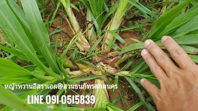 วิธีปลูกหญ้าหวาน สามารถใช้ท่อนเดียวต่อหลุมก็ได้ ถ้าไม่มีปัญหาเรื่องน้ำแฉะเกินไป