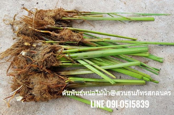 หน่อไม้น้ำชื่อภาษาอังกฤษ Manchuria wild rice จัดส่งศรีราชา