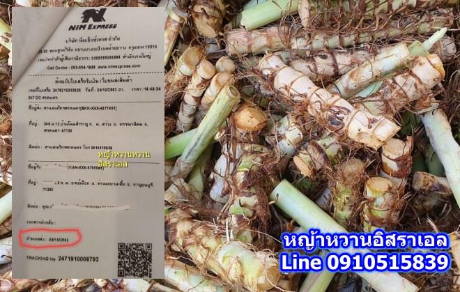 ขายพันธุ์หญ้าหวานอิสราเอล ด่านมะขามเตี้ย กาญจนบุรี