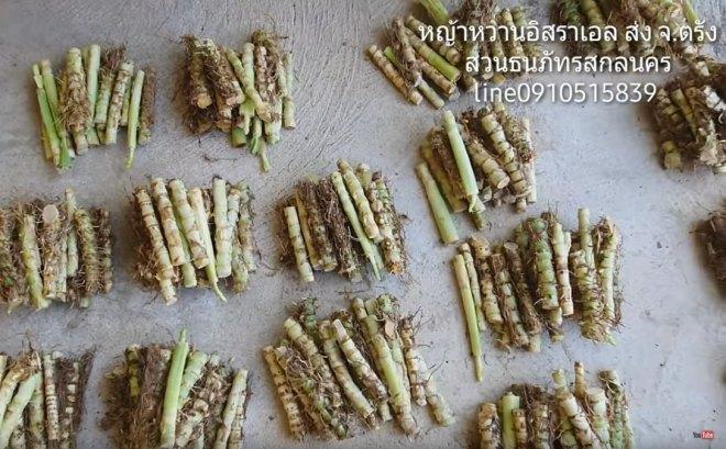 ท่อนพันธุ์หญ้าหวานอิสราเอล จ.ตรัง เพื่อใช้ปลูกสำหรับไว้เลี้ยงสัตว์