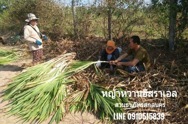 ขายท่อนพันธุ์หญ้าหวานอิสราเอล อ.ธาตุพนม จ.นครพนม แวะมารับถึงที่สวนเองเลย