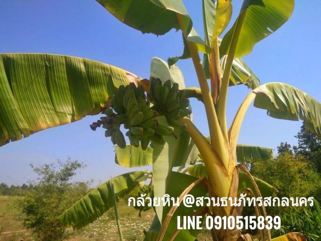ต้นกล้วยหิน ยะลา ทางสวนนำมาจากภาคใต้ลงปลูกที่สกลนคร