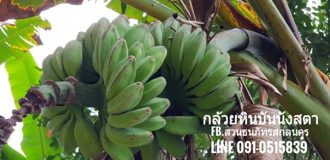 สายพันธุ์กล้วยหิน กล้วยหินกาบา