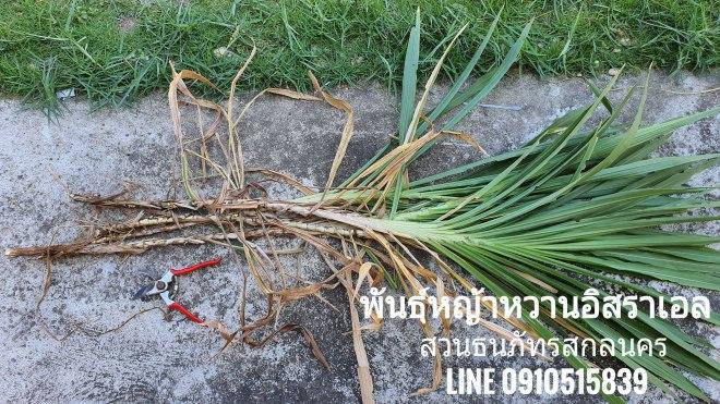 หาซื้อพันธุ์หญ้าหวานอิสราเอล จำนวนไม่มาก 20 ท่อนจากที่ไหนได้บ้าง