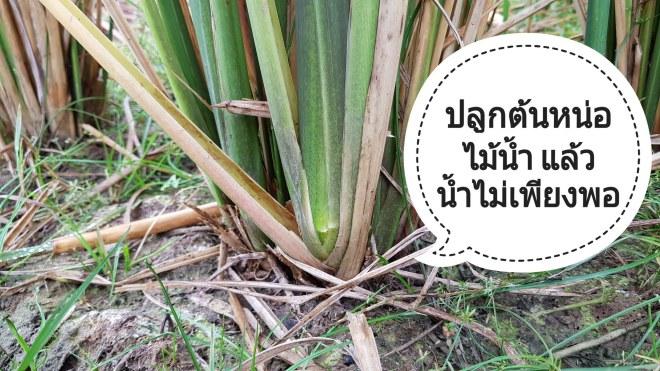 ปลูกต้นหน่อไม้น้ำ เพื่อเก็บหน่อสดขายราคาดี แต่ต้องมีน้ำ