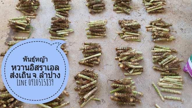 ขายพันธุ์หญ้าหวานอิสราเอล ต.เวียงมอก อ.เถิน จ.ลำปาง