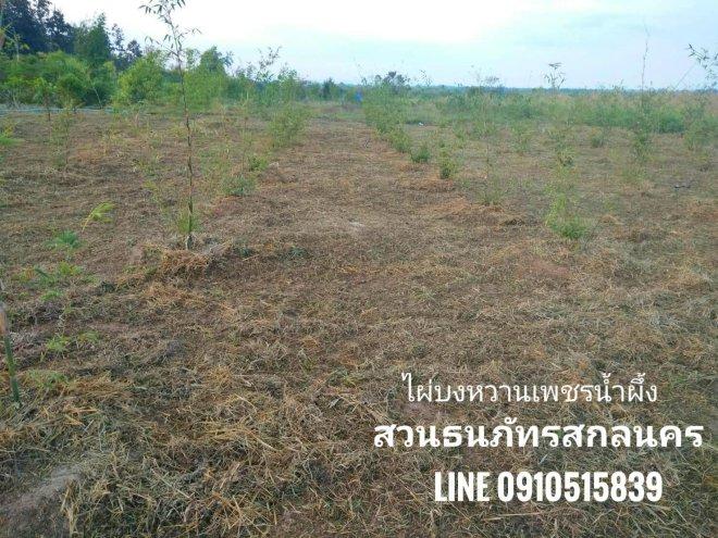 ตัดหญ้าแปลงไผ่บงหวานเพชรน้ำผึ้ง เบอร์2 สกลนครโซนใหม่