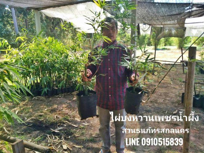 ไผ่บงหวานเพชรน้ำผึ้ง เดินทางจากกาญจบุรี กลับมาสกลนคร