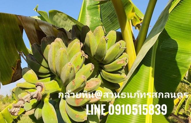 กล้วยหิน ยะลา นำมาจากปักษ์ใต้ปลูกที่สกลนคร อายุประมาณ1ปี