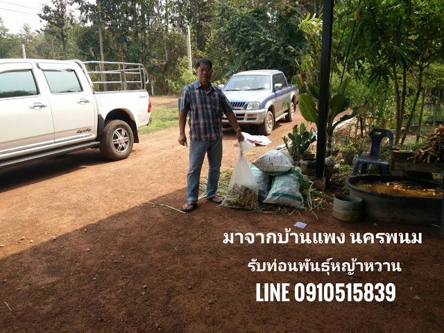 ขายหญ้าหวานอิสราเอล ขับรถมารับจากบ้านแพง จ.นครพนม
