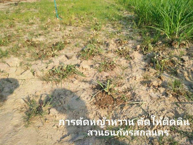 การตัดหญ้าหวานอิสราเอล ตัดให้ชิดโคนติดดิน เพื่อไม่ให้โคนลอย