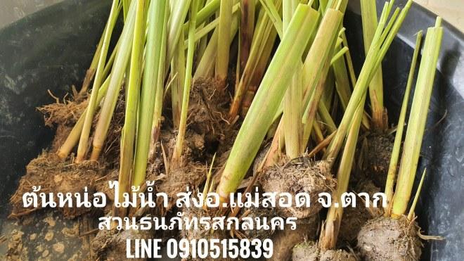 หน่อไม้น้ำ Zizania latifolia Turcz. ปลูกยากหรือไม่อยากลองปลูกที่ อ.แม่สอด จ.ตาก