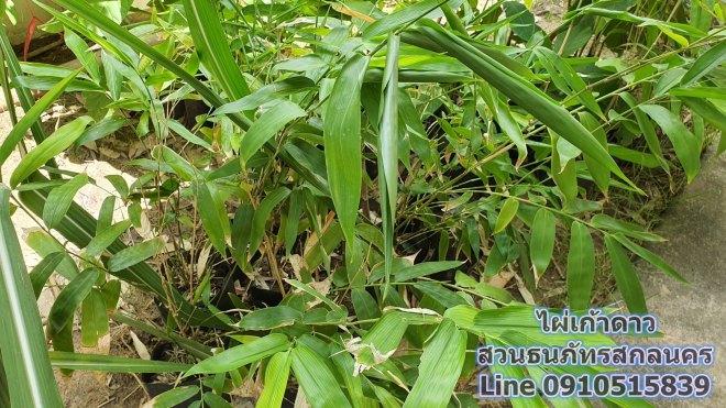 ไผ่เก้าดาว (Guadua bamboo) สกลนคร มีแบ่งขายสำหรับเพื่อนๆ