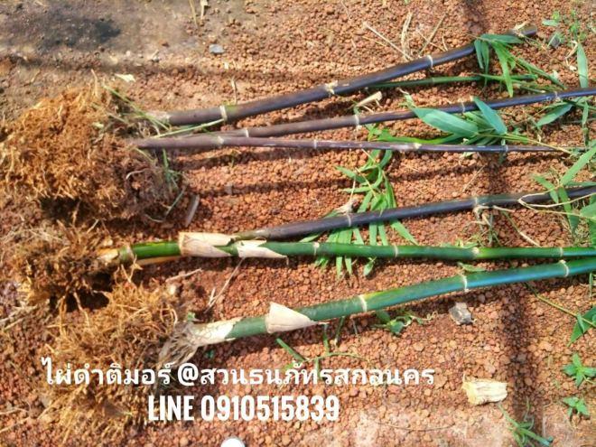 ขายไผ่ดำติมอร์ เหง้าสด ลงถุงชำเหง้า ไผ่ประดับ Timor black bamboo