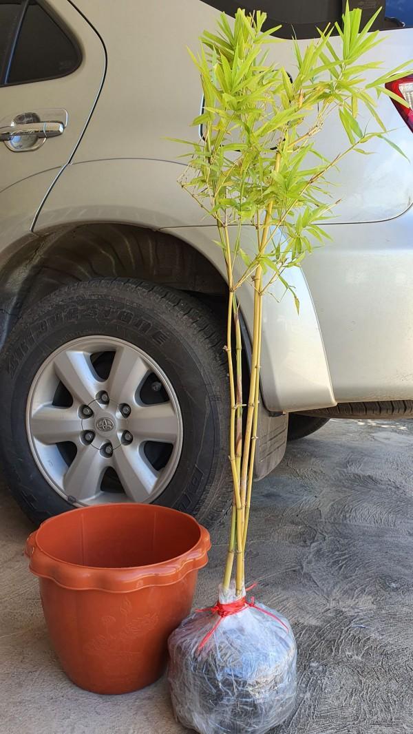 ขายต้นไผ่สีสุกทอง ฮวงจุ้ยเสริมสิริมงคล ด้วยการปลูกไผ่บริเวณบ้าน