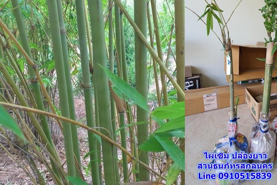 ไผ่เซิม ตระกูลไผ่ปล้องยาว ใช้สับฟาก จักสานลาย ไผ่พื้นบ้านไทย