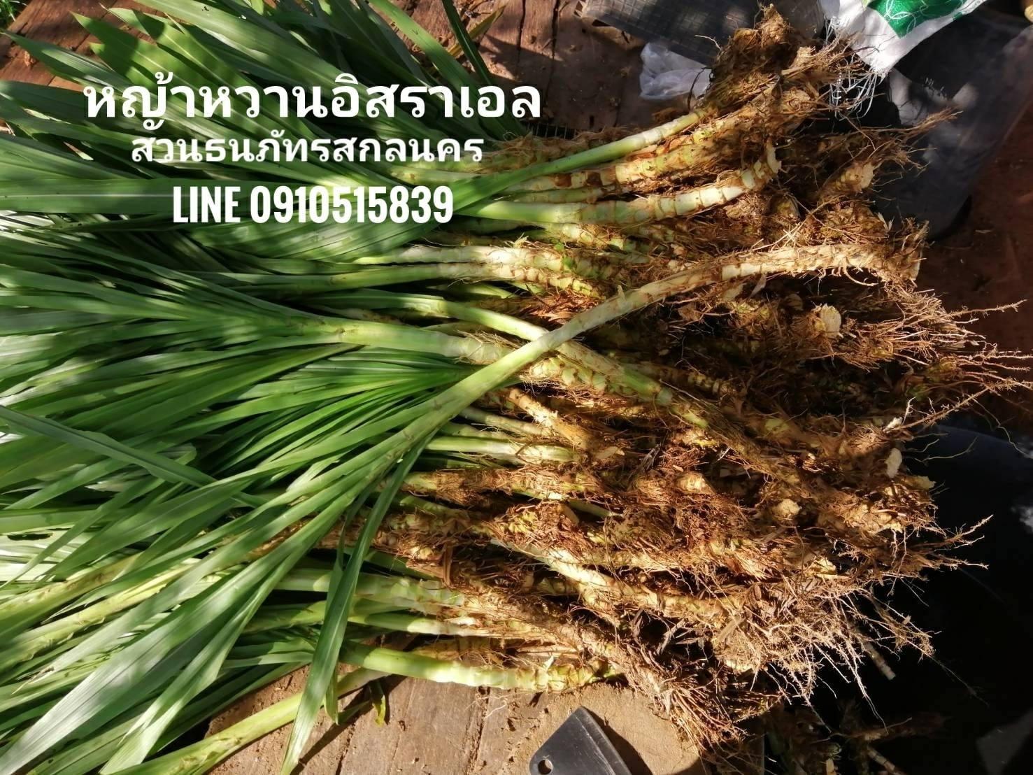 ขายหญ้าหวานอิสราเอล บริการจัดส่ง อ.กบินทร์บุรี จ.ปราจีนบุรี