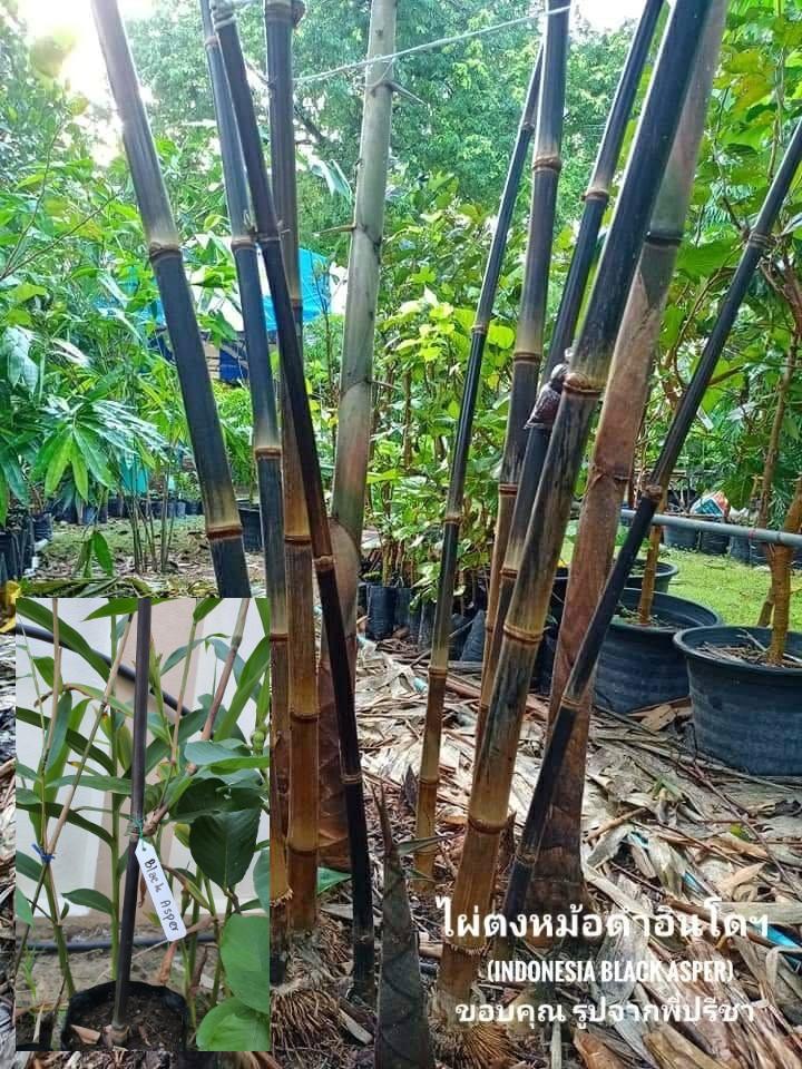 ไผ่ตงหม้อดำอินโดฯ (Indonesia Black Asper) แบ่งจากพี่ปรีชา
