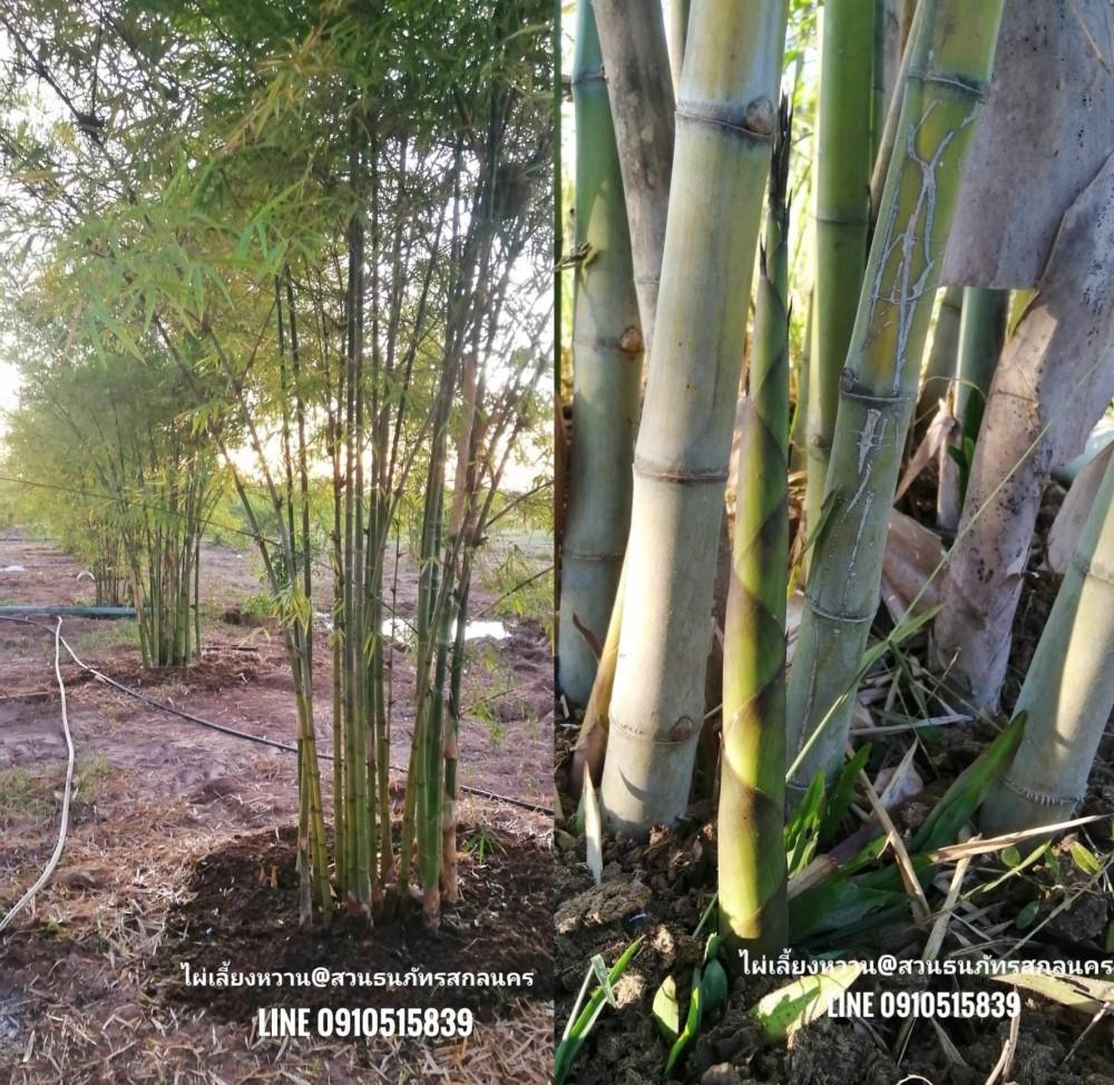 ไผ่สามฤดู ที่ทางสวนปลูกจะเป็นต้นที่ปลูกจากเมล็ดและคัดสายพันธุ์