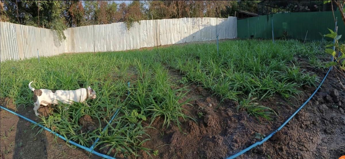 แปลงหญ้าหวานอิสราเอล อายุ1เดือน รูปจากน้องที่สั่งท่อนพันธุ์ทางสวน