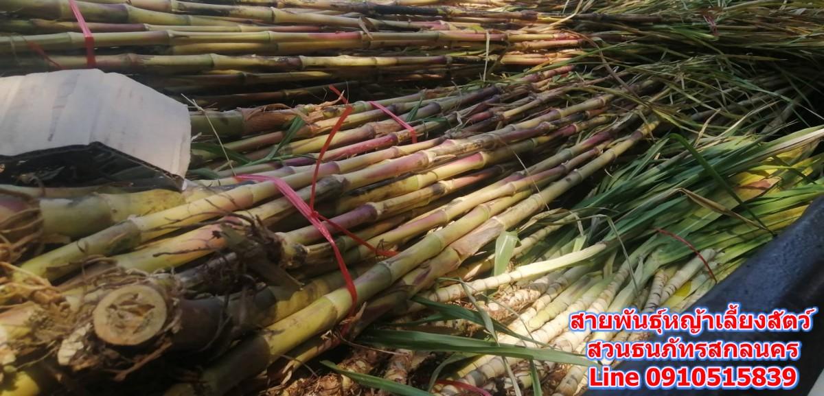 ขายท่อนพันธุ์ หญ้านรกจักรพรรดิ์  เนเปียร์ปากช่อง 1 หญ้าเนเปียร์แคระ หญ้าหวานอิสราเอล นครพนม