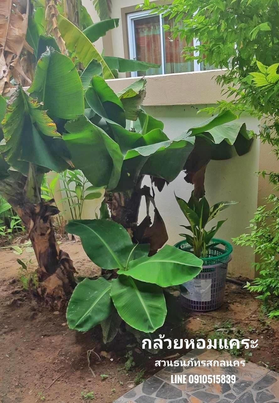 ต้นกล้วยหอมแคระ ปลูกในบ้าน เสริมฮวงจุ้ย