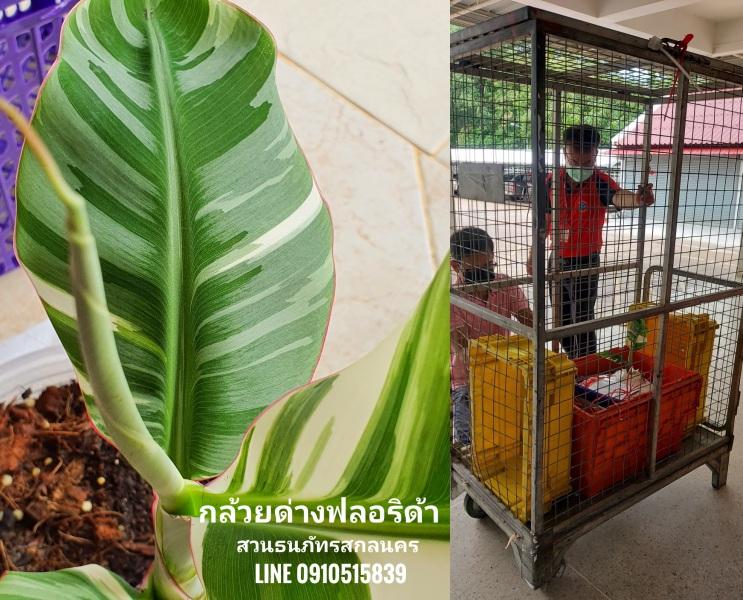 กล้วยด่างฟลอริด้า ส่งแบบ VIP เหมาโรลพาเลท ปลายทางนนทบุรี