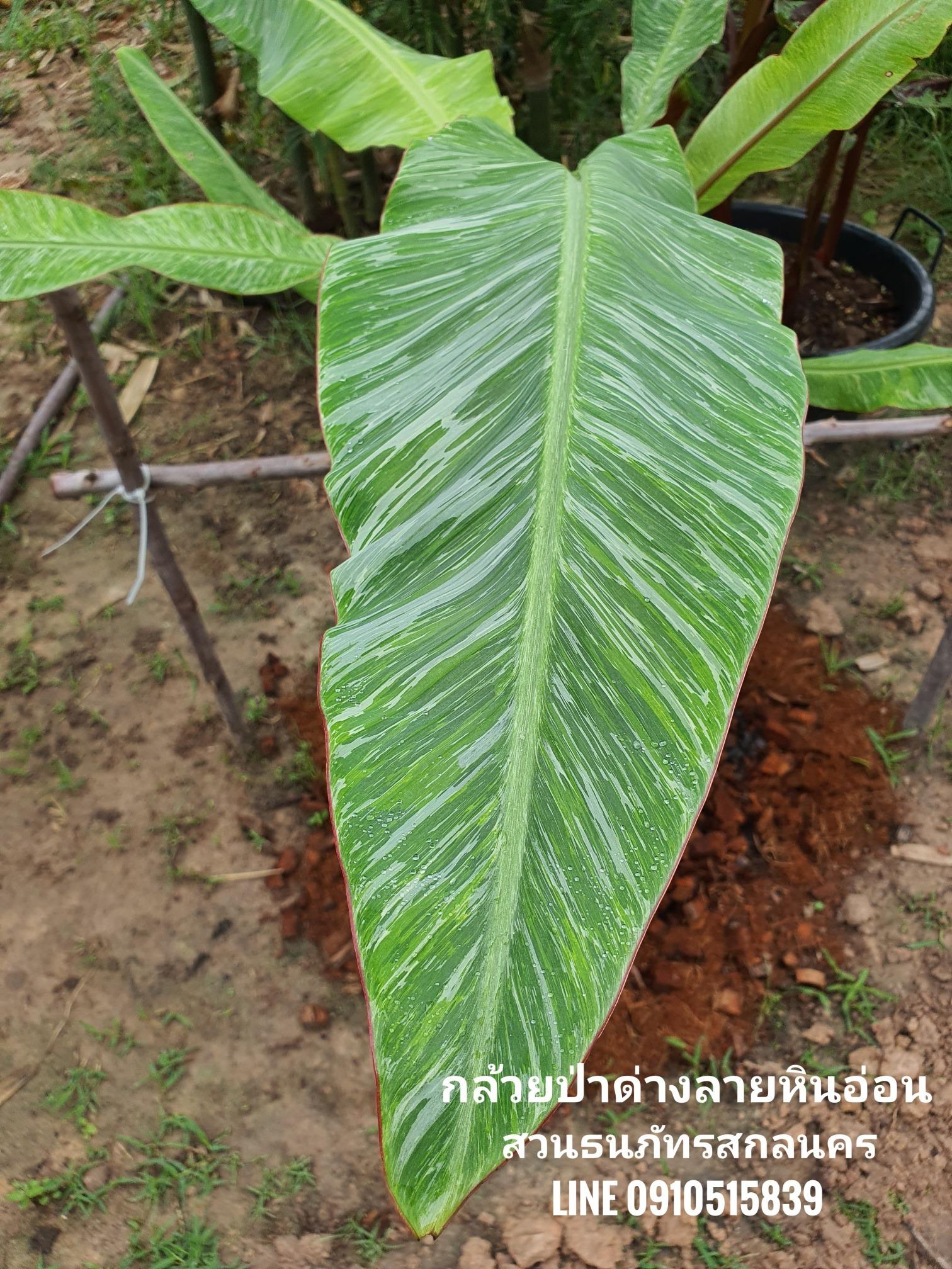 กล้วยป่าด่างลายหินอ่อน เดินป่าหามาขายได้ในราคาหลักหมื่นบาท