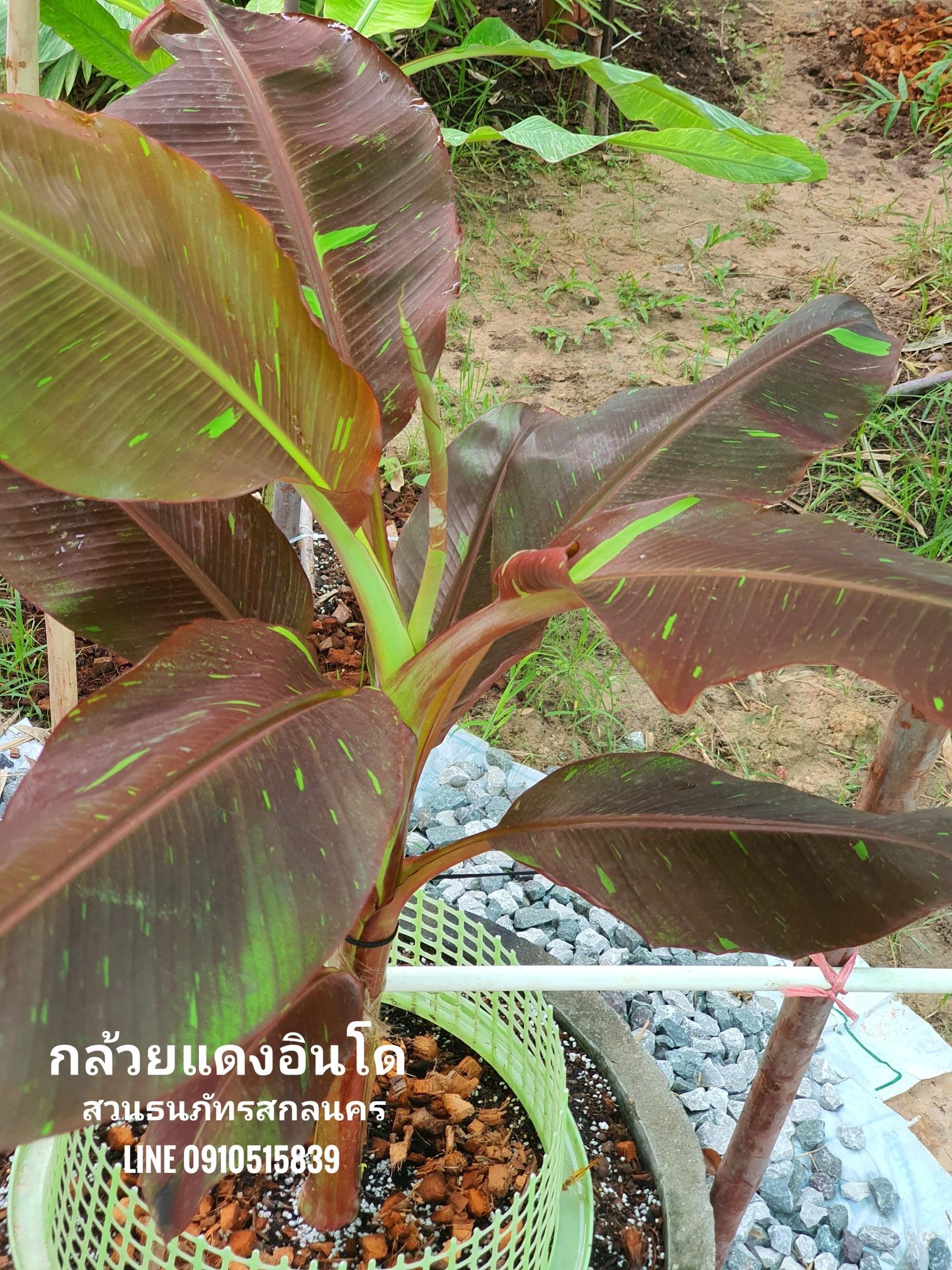 กล้วยแดงอินโด ราคาดี กำลังเป็นที่ต้องการของตลาดโดยเฉพาะกลุ่มคนรักกล้วยด่าง