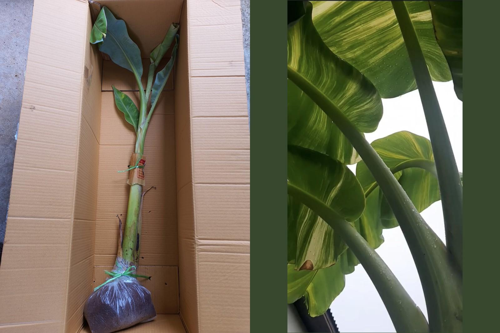 กล้วยน้ำว้าไอศครีมเขียว จากต้นแม่ด่าง หน่อพี่หน่อน้องด่างสวย