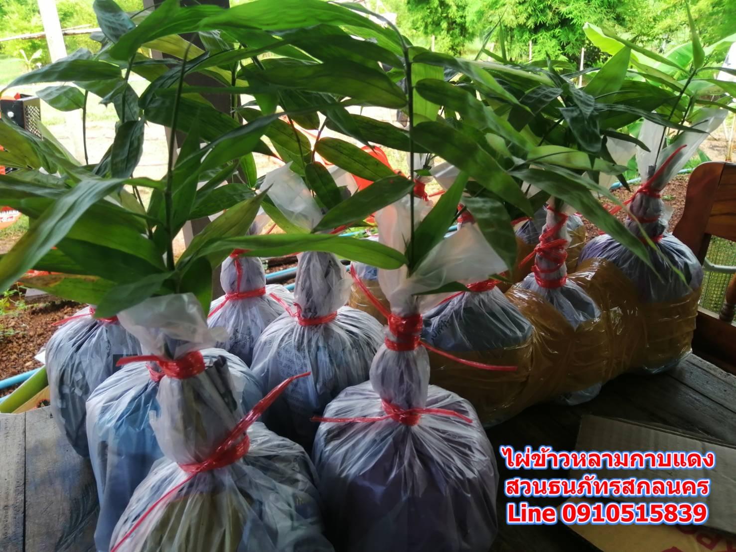 ขายพันธุ์ไผ่ข้าวหลามกาบแดง เพาะเมล็ด ต.เมืองเก่า อ.เมือง จ.ขอนแก่น