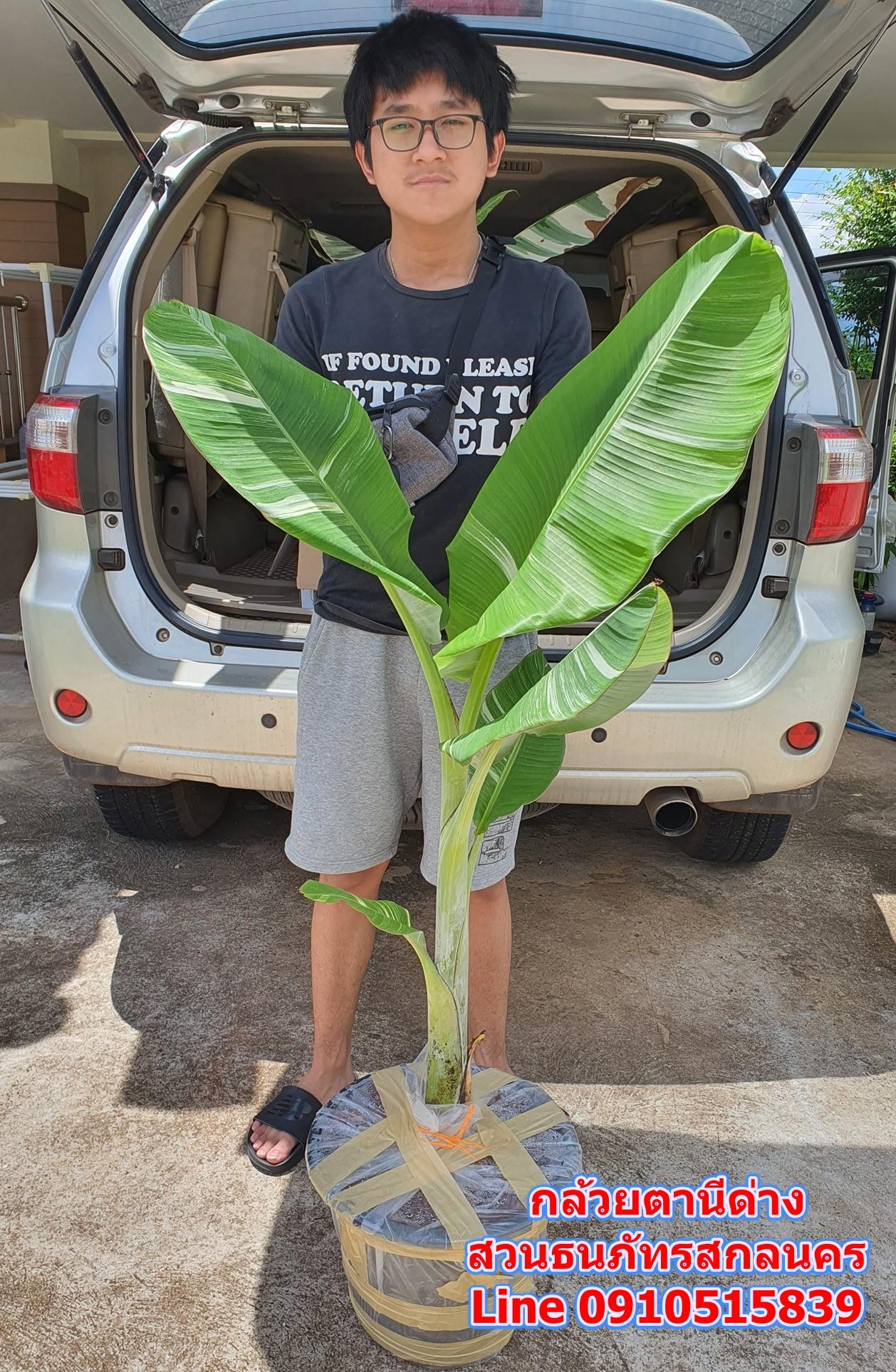 กล้วยด่างฟลอริด้า กล้วยตานีด่าง กล้วยป่าด่างหินอ่อน ส่งอุดรธานี