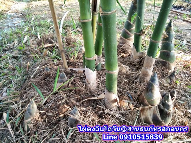 ไผ่ตงอินโดจีน สกลนคร ออกหน่อดกมาก ยิ่งถ้าดูแลต่อเนื่องได้น้ำได้ปุ๋ย ทำนอกฤดูราคาดี