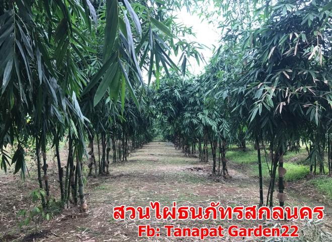 สวนไผ่สกลนคร รวมสายพันธุ์ไผ่ขายหน่อ ไผ่ขายลำ Tanapat Bamboo Garden
